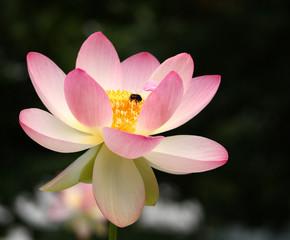 Große Lotosblüte