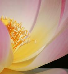 Lotosblütendetail