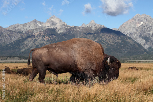 Tuinposter Bison American Bison (Buffalo)