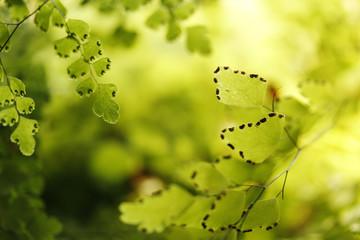 Maidenhair Fern Leaves Closeup