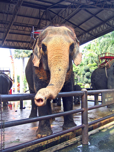 Pattaya, an elephant in a botanical garden of Nong Nuch