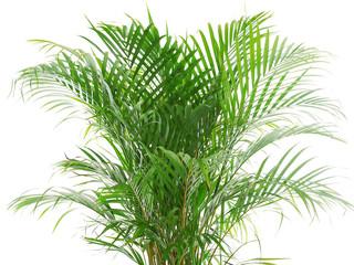 betel nut palm plant
