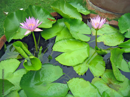 Lily flowers in a pond in a garden of orchids, Pattaya