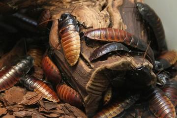 Madagaskar-Riesenschaben / Madagascar Giant Cockroaches