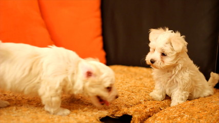 Playing with Maltese Puppies