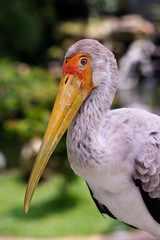 Close up of a painted stork