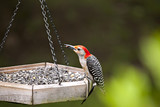 Beautiful colorful Red Bellied Woodpecker bird