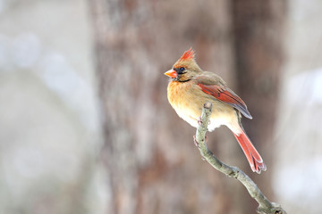 Female Northern  Cardinal sitting on bare limb