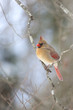 Постер, плакат: Female Northern Cardinal sitting on bare limb