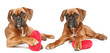 German boxer puppies, lie with a red valentine heart
