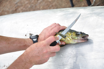 Fisherman Filleting a Walleye Fish (Sander vitreus)