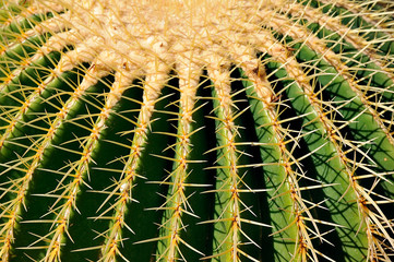 Epine d'un cactus siège de belle mère