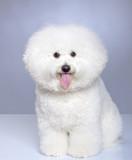 Bichon Frise puppy poster