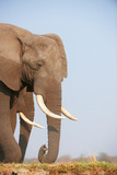 Fototapeta zwierzę - Afryki - Dziki Ssak