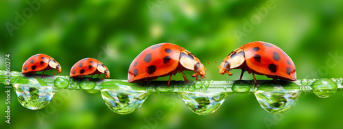 Poster Lieveheersbeestjes Ladybugs family on a grass bridge.