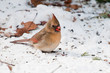 Female cardinal looking for seeds on snow