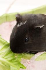 Guinea Pig