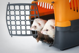Two ferrets in a cage for carrying poster