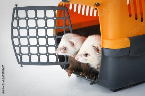 Two ferrets in a cage for carrying