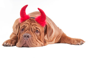 Big dog of french mastiff breed with red horns isolated on white