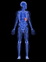 männliche Anatomie -  markierte Milz