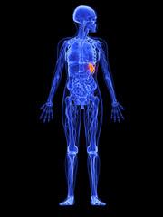 weibliche Anatomie - markierte Milz