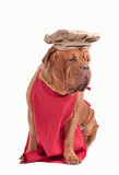 Dog dressed like chef with red apron and chef hat isolated poster
