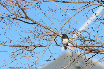 Dark Eyed Junco On Tree Branch