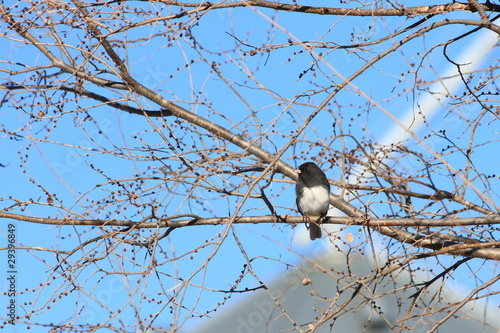 Dark Eyed Junco On Tree Branch