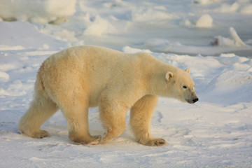 Healthy male polar bear in the arctic searching for food