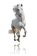 Obrazy na płótnie, fototapety, zdjęcia, fotoobrazy drukowane : white horse isolated