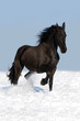 black friesian horse on the meadow
