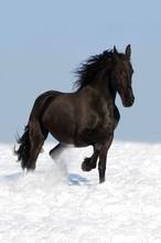 Cheval noir frison sur la prairie