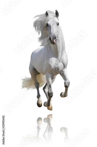 Fototapeta white horse isolated