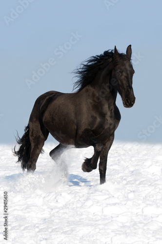 black friesian horse on the meadow - 29415650