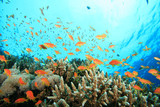 Lyretail Anthias fish and Acropora Corals poster