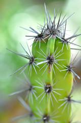 épines de cactus 2