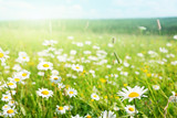 Fototapety field of daisy flowers