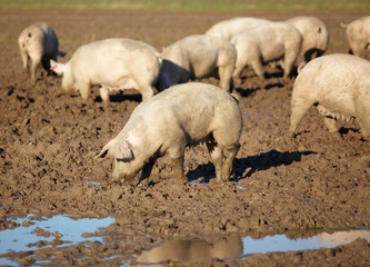 Schweine suhlen im Schlamm