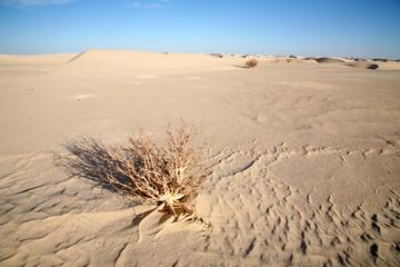 Dead bush in the Sahara, Mauritania.