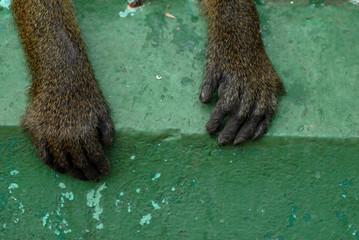 zampe di scimmia
