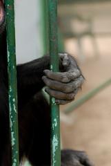 mani di scimmia