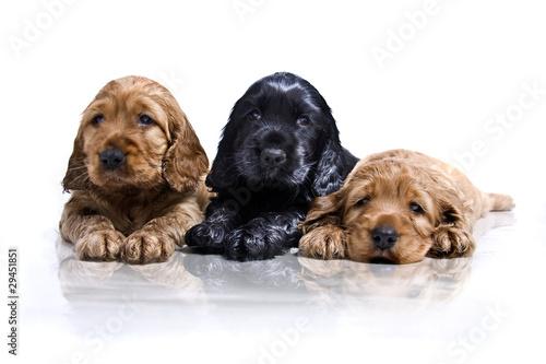 drei junge Hunde