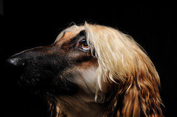 Afghan Hound looking at the light