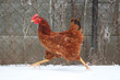 Running hen in winter