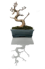 Bonsai tree dried