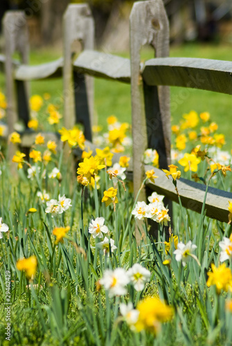 Poster Narcis Daffodil Fence