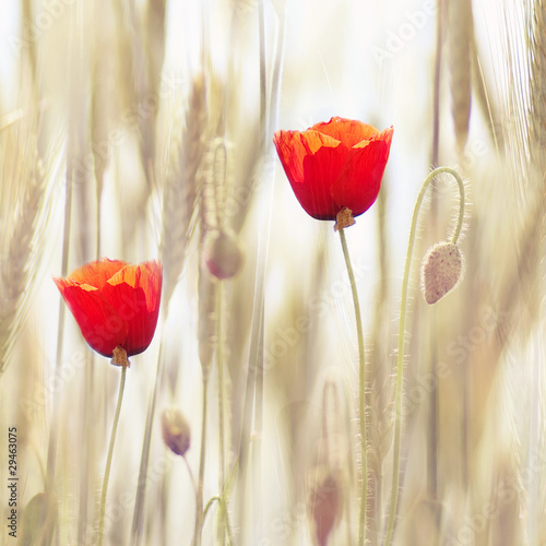 Poppies © Kristina Stasiuliene