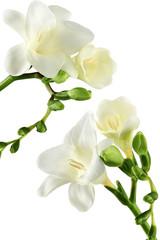 fresia bianca
