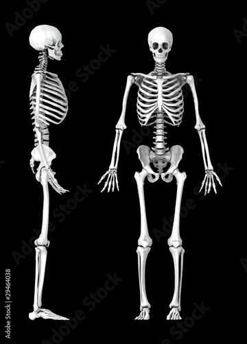 3D human skeleton medical illustration